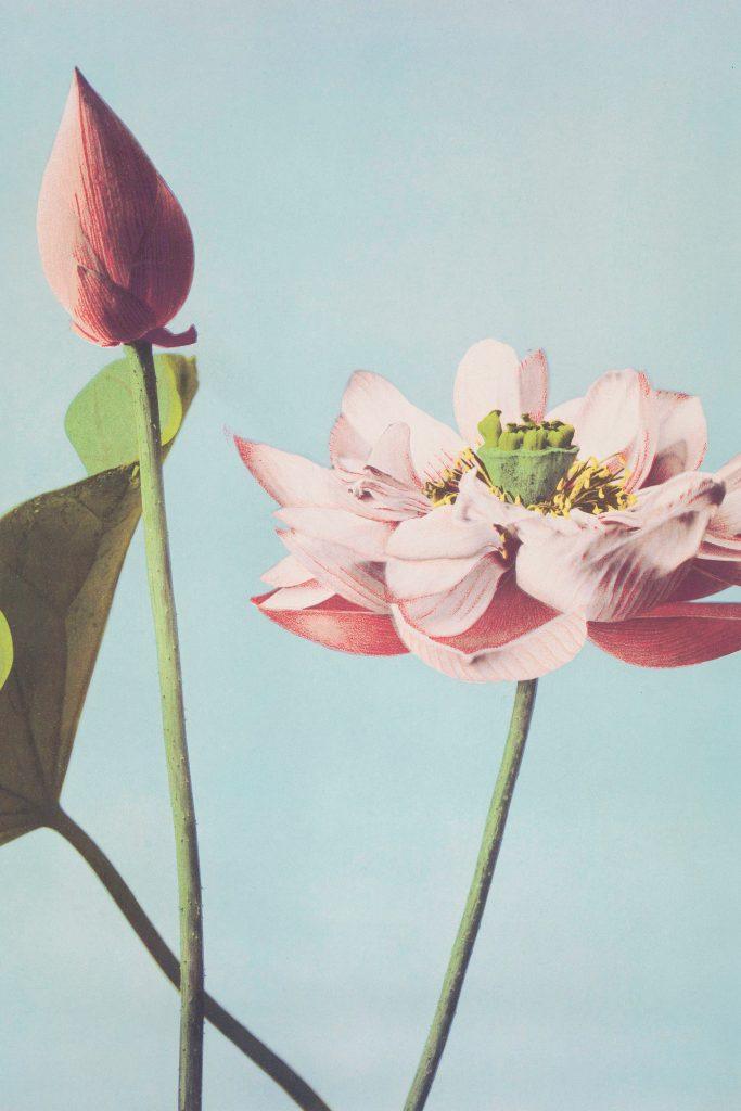 Image of lotus flowers.