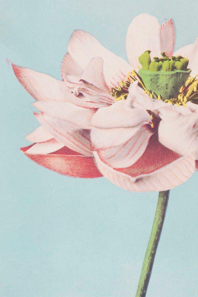 Image of lotus flower.